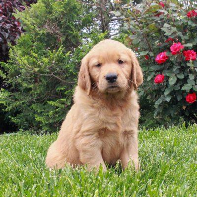 Jake - ACA Golden Retriever male puppy for sale at Gordonville, Pennsylvania