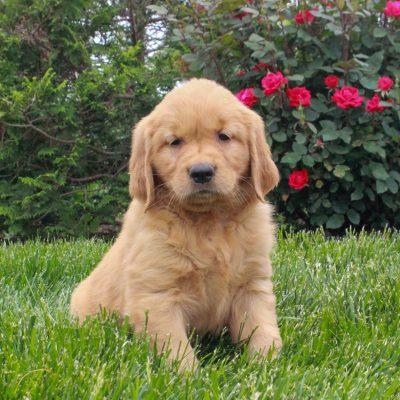 Jasmine - female ACA Golden Retriever pup for sale in Gordonville, Pennsylvania
