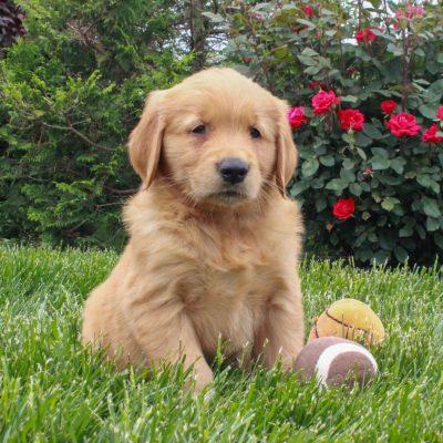 Jax - ACA Golden Retriever male doggie for sale in Gordonville, Pennsylvania