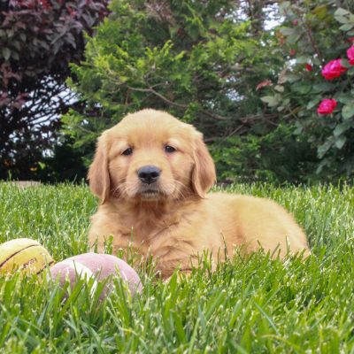Jemma - ACA Golden Retriever female puppie for sale near Gordonville, Pennsylvania