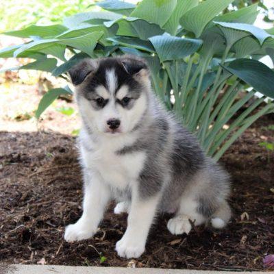 Jenny - Pomsky female doggie for sale in Drumore, Pennsylvania