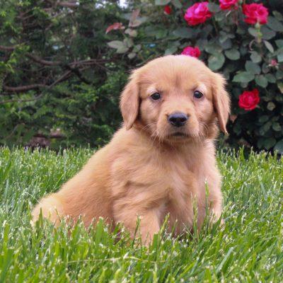 Jenny - ACA Golden Retriever female puppy for sale near Gordonville, Pennsylvania