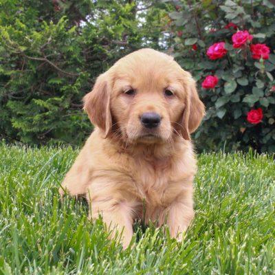 Jessa - ACA Golden Retriever female puppie for sale in Gordonville, Pennsylvania