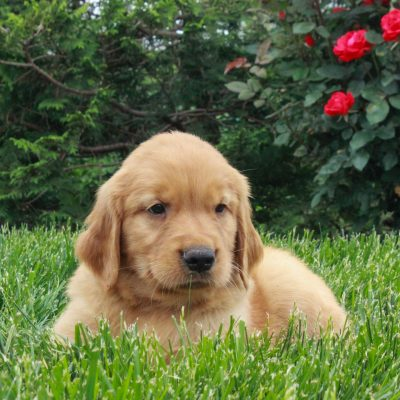 Joe - ACA Golden Retriever male pup for sale near Gordonville, Pennsylvania