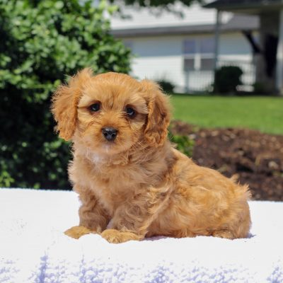 Joey - F1 Cavapoo male puppie for sale near Honeybrooke, Pennsylvania