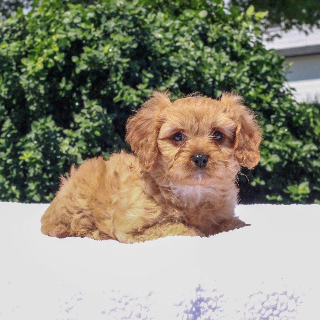 Joey - F1 Cavapoo male puppie for sale near Honeybrooke, Pennsylvania