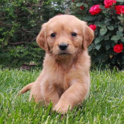 Josie - ACA Golden Retriever female doggie for sale at Gordonville, Pennsylvania
