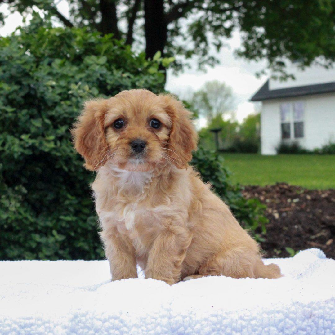 Josie - female F1 Cavapoo doggie for sale at Honeybrooke, Pennsylvania