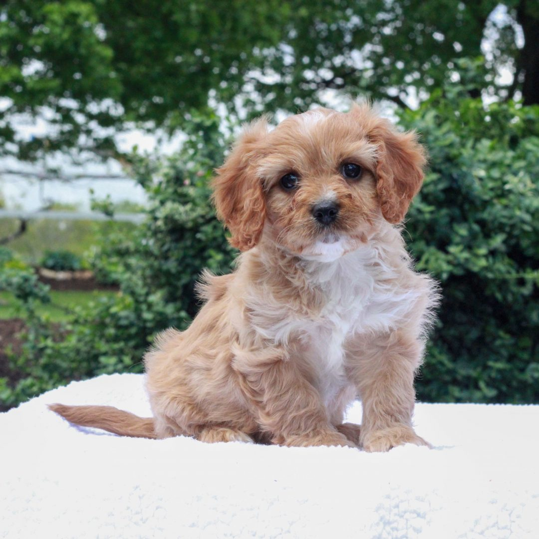 Joy - F1 Cavapoo puppie for sale in Honeybrooke, Pennsylvania