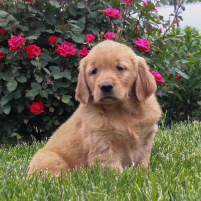 Julie - ACA Golden Retriever female pup for sale at Gordonville, Pennsylvania