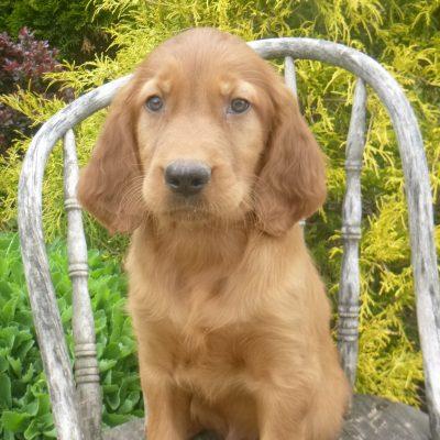 Kammy - Golden Irish pupper for sale near Blain, Pennsylvania