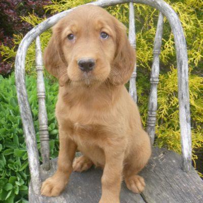 Karby - puppie Golden Irish male for sale at Blain, Pennsylvania