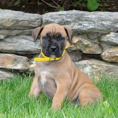 Kayla - AKC African Boerboel female puppy for sale in Holtwood, Pennsylvania