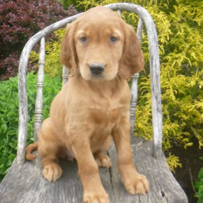 Kim - Golden Irish female pupper for sale in Blain, Pennsylvania