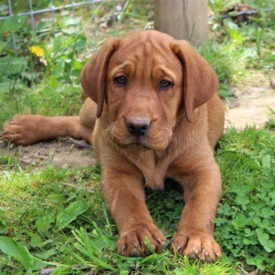 Kings - AKC Fox Red Labrador Retriever puppy for sale in Mercersburg, Pennsylvania