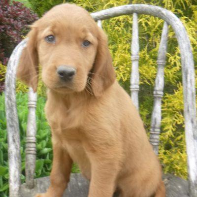 Kora - Golden Irish female doggie for sale near Blain, Pennsylvania