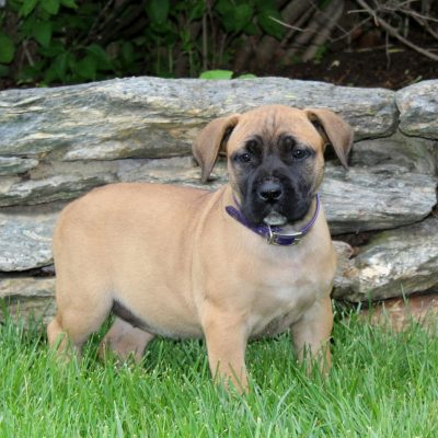 Kristen - AKC African Boerboel female pup for sale at Holtwood, Pennsylvania