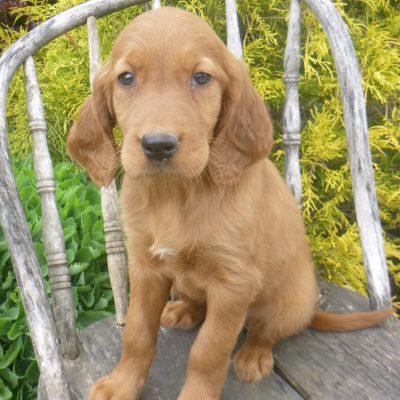 Kyla - Golden Irish female puppy for sale in Blain, Pennsylvania