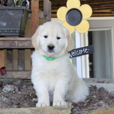 Landon - English Cream Golden Retriever male puppie for sale in New Providence, Pennsylvania