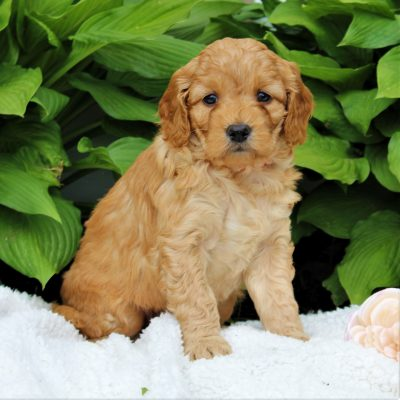 Laney - F1 Mini Goldendoodle