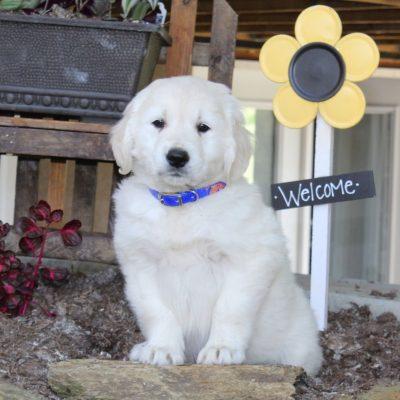 Larry - English Cream Golden Retriever male doggie for sale at New Providence, Pennsylvania