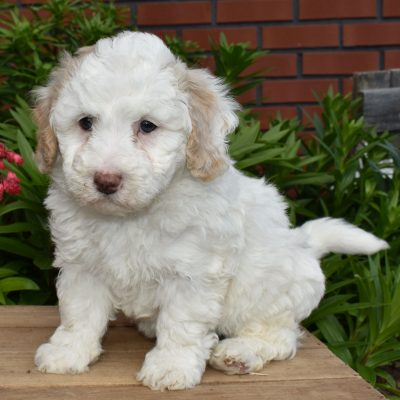Lavaeh - F1b Mini Sheepadoodle puppy for sale in Sunbury, Pennsylvania