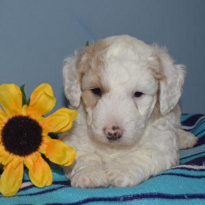 Leann - F1b Mini Sheepadoodle pup for sale in Sunbury, Pennsylvania