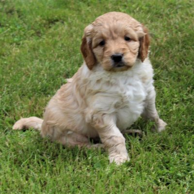Leo - F1 Mini Goldendoodle