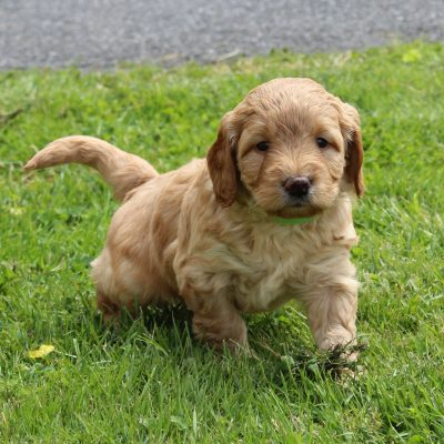 Levi - F1 Mini Goldendoodle doggie for sale near New Holland, Pennsylvania