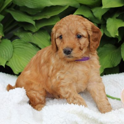 Lexi - F1 Mini Goldendoodle