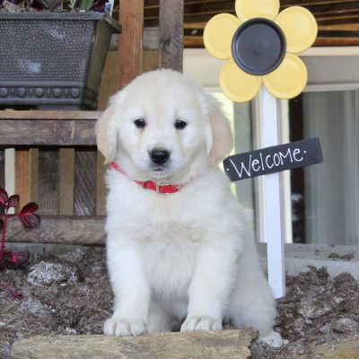 Lilac - English Cream Golden Retriever female pup for sale at New Providence, Pennsylvania