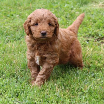 Lincoln - F1 Mini Goldendoodle
