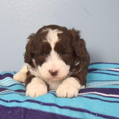 Loyal - F1b Mini Sheepadoodle puppie for sale at Sunbury, Pennsylvania
