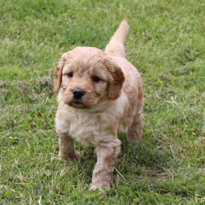 Lucas - F1 Mini Goldendoodle