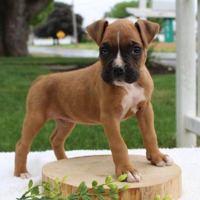 Lucky - AKC Boxer puppy for sale in Ephrata, Pennsylvania