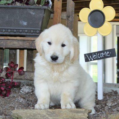 Luis - puppy English Cream Golden Retriever male for sale near New Providence, Pennsylvania
