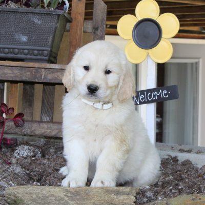 Luke - English Cream Golden Retriever male pup for sale in New Providence, Pennsylvania