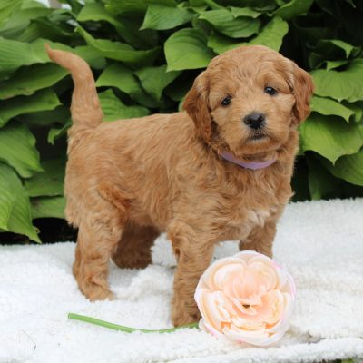 Luna - F1 Mini Goldendoodle