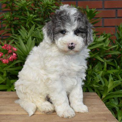 Lyndon - F1b Mini Sheepadoodle pup for sale near Sunbury, Pennsylvania