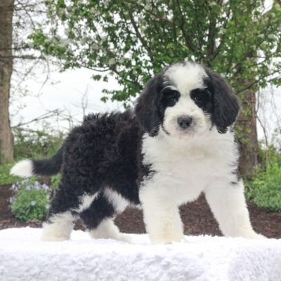 Mia - F1 Standard Bernedoodle female pup for sale at Narvon, Pennsylvania