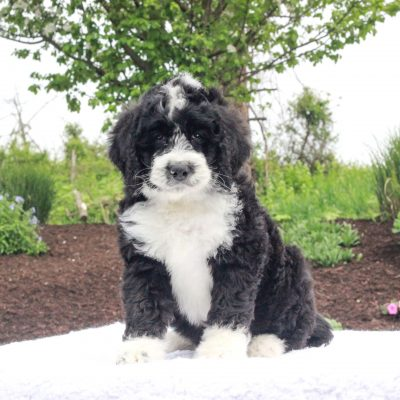 Michael - doggie F1 Standard Bernedoodle male for sale at Narvon, Pennsylvania