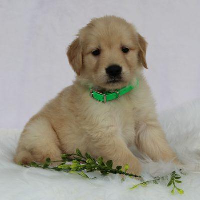Nalo - male AKC Golden Retriever pup for sale at Gordonville, Pennsylvania