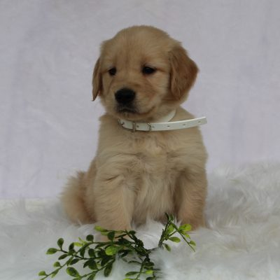 Nayla- AKC Golden Retriever female puppy for sale near Gordonville, Pennsylvania