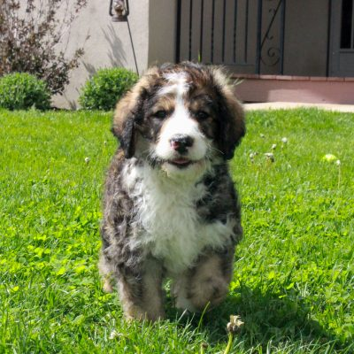 Parker - F1 Swissdoodle male pupper for sale near Honeybrook, Pennsylvania