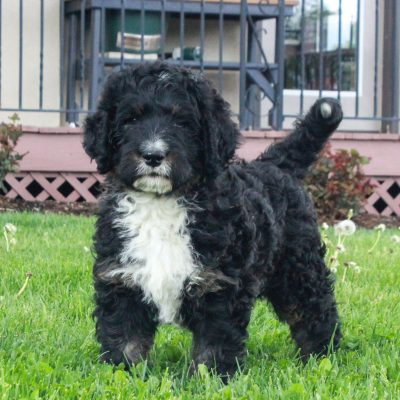 Patrick - F1 Swissdoodle male pup for sale at Honeybrook, Pennsylvania