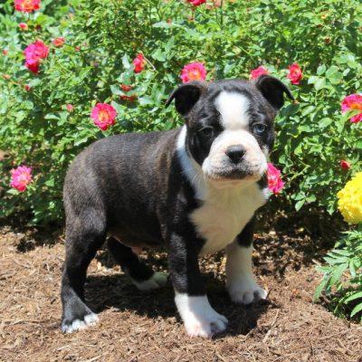 Pete - Boston Terrier pup for sale at Drumore, Pennsylvania