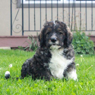 Peter - puppy F1 Swissdoodle male for sale in Honeybrook, Pennsylvania