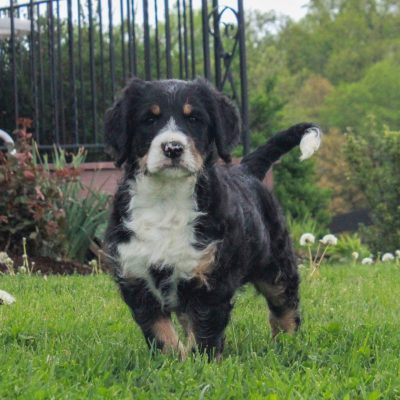 Polly - F1 Swissdoodle female doggie for sale near Honeybrook, Pennsylvania