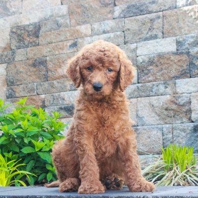 Ranger - f1b Standard Goldendoodle male doggie for sale in Honeybrook, Pennsylvania
