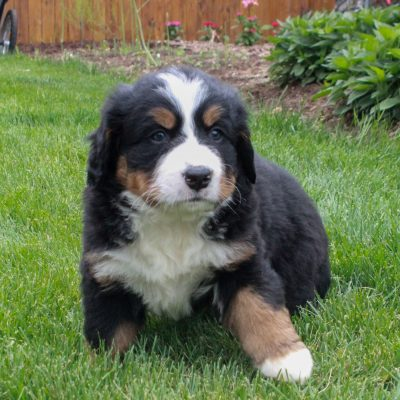 Rayna - Bernese Mountain Dog female doggie for sale in Ronks, Pennsylvania